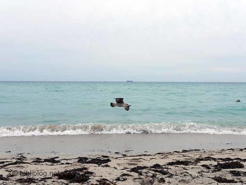 Miami Beach mouette en vol