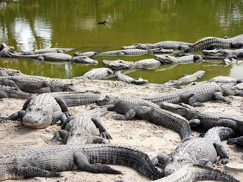 diner alligator Everglades