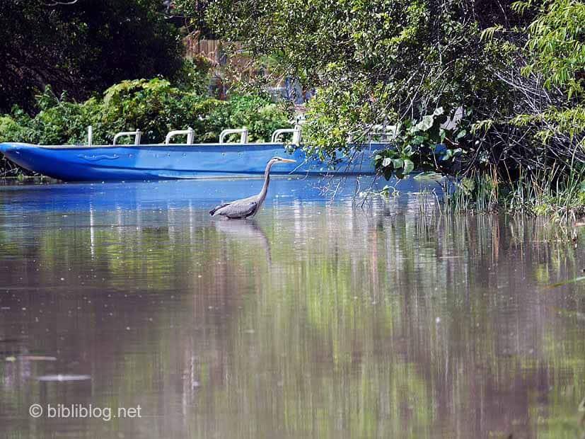 hérons Everglades