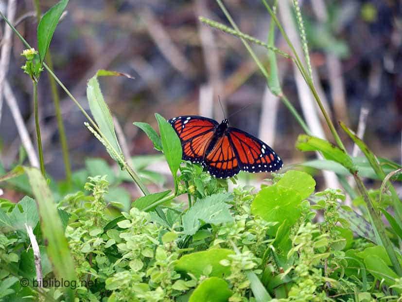 papillon Pinelands Everglades