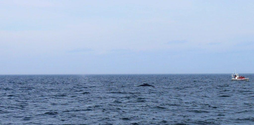baleine-zodiac-canada