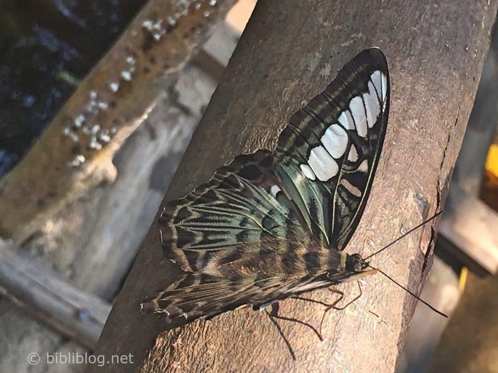 papillon-laos-jungle