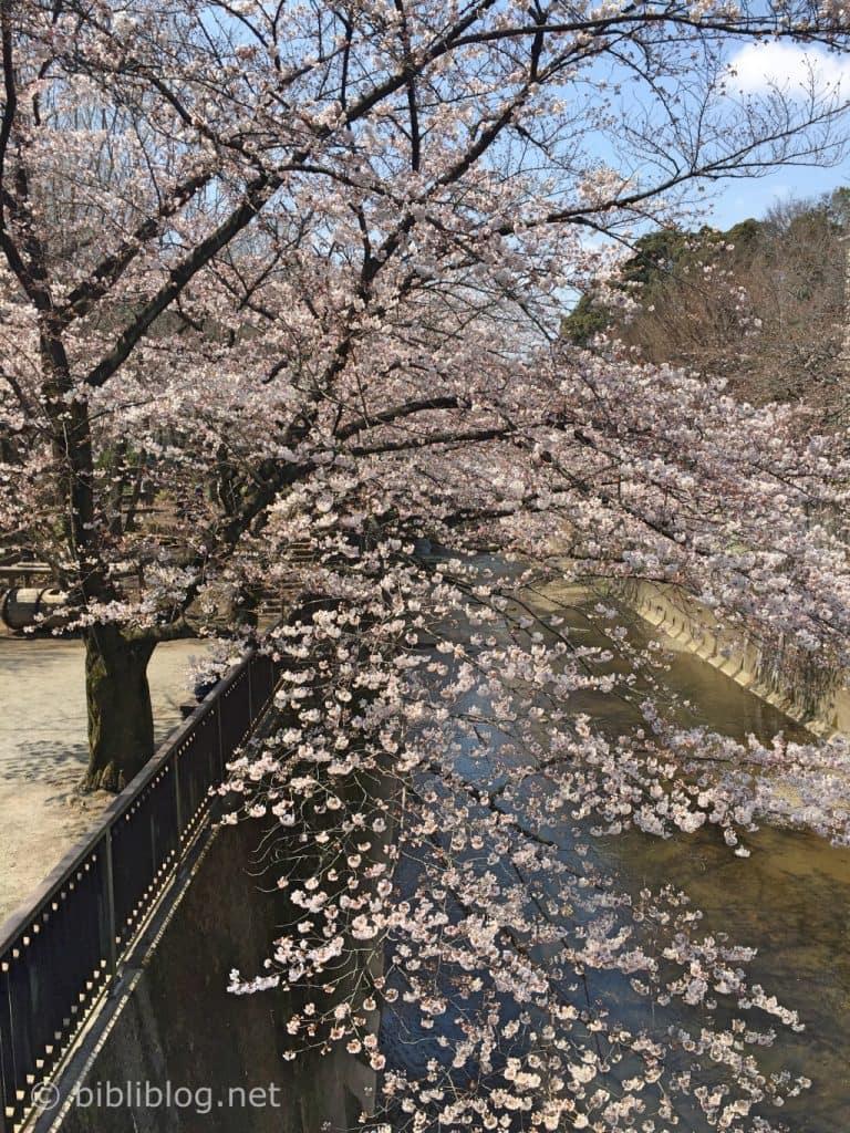 Cerisier-tokyo