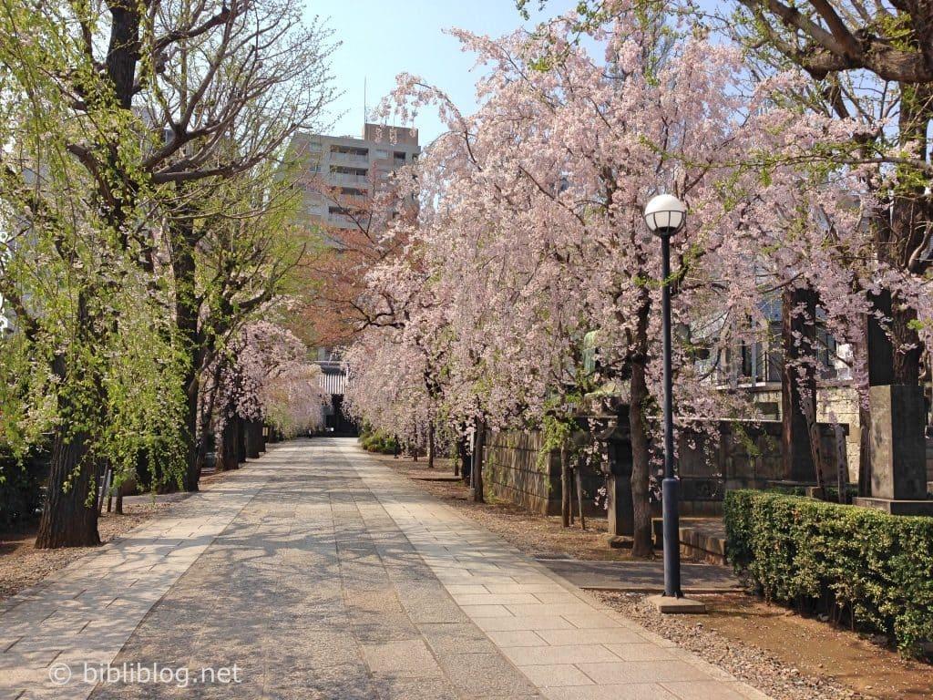 allee-cerisier-japon