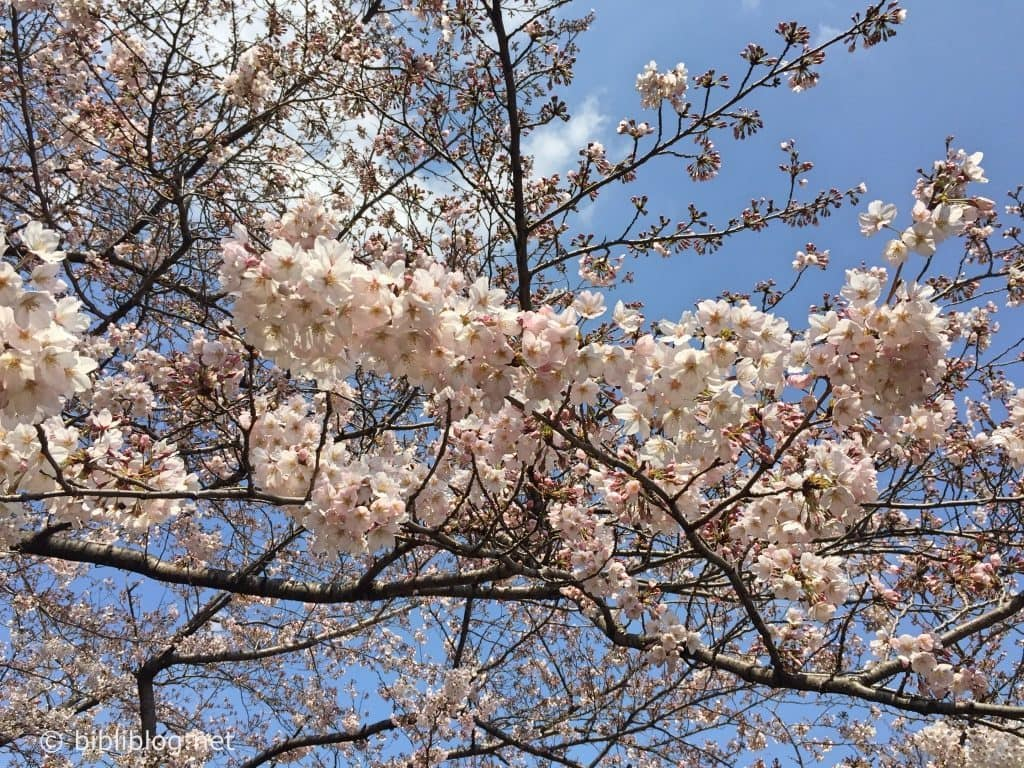 branche-cerisier