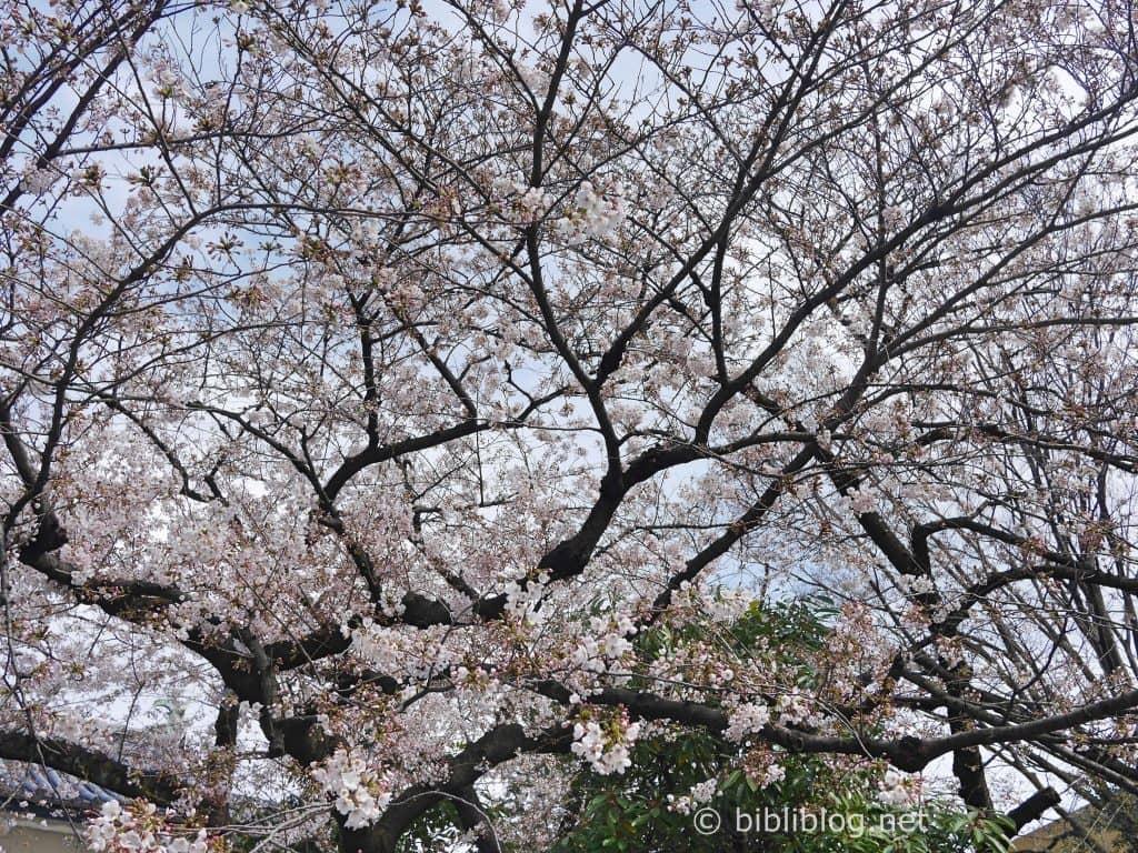 cerisier-japon