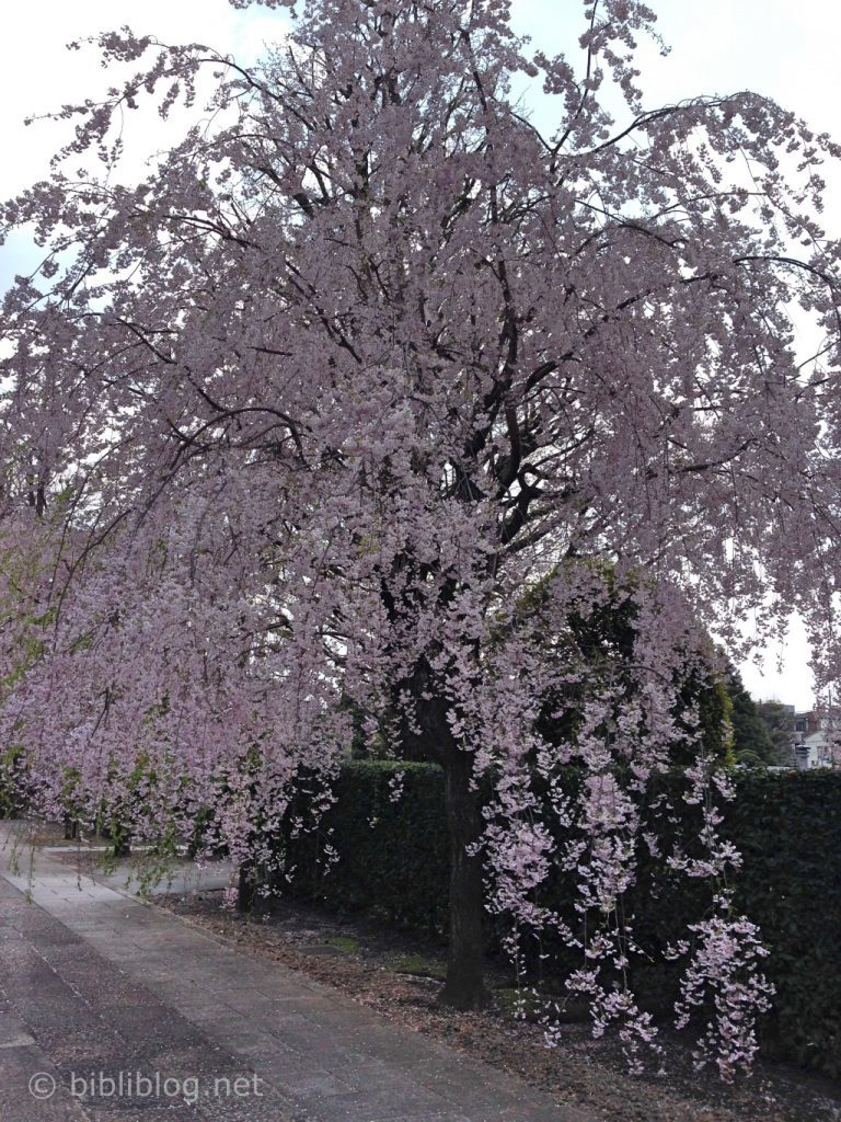cerisier-pleureur-tokyo