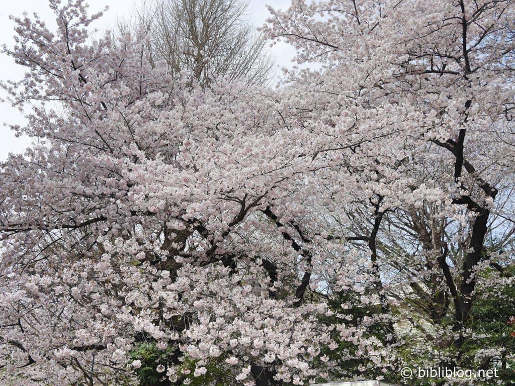 full-blossom