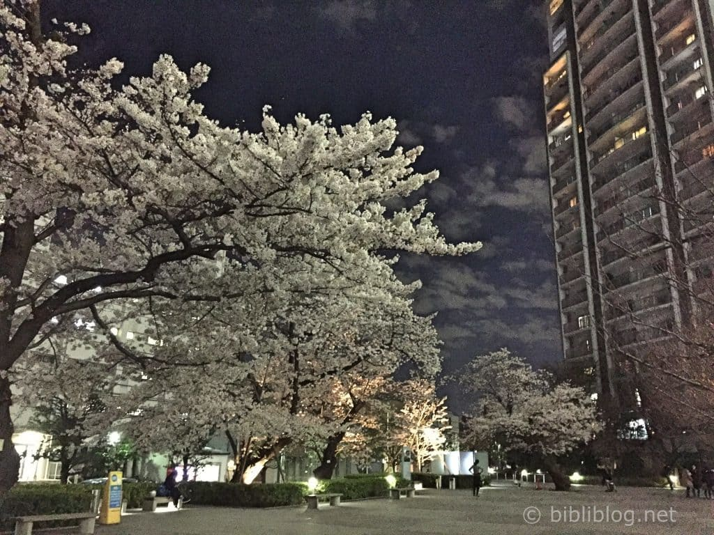 sakura-by-night