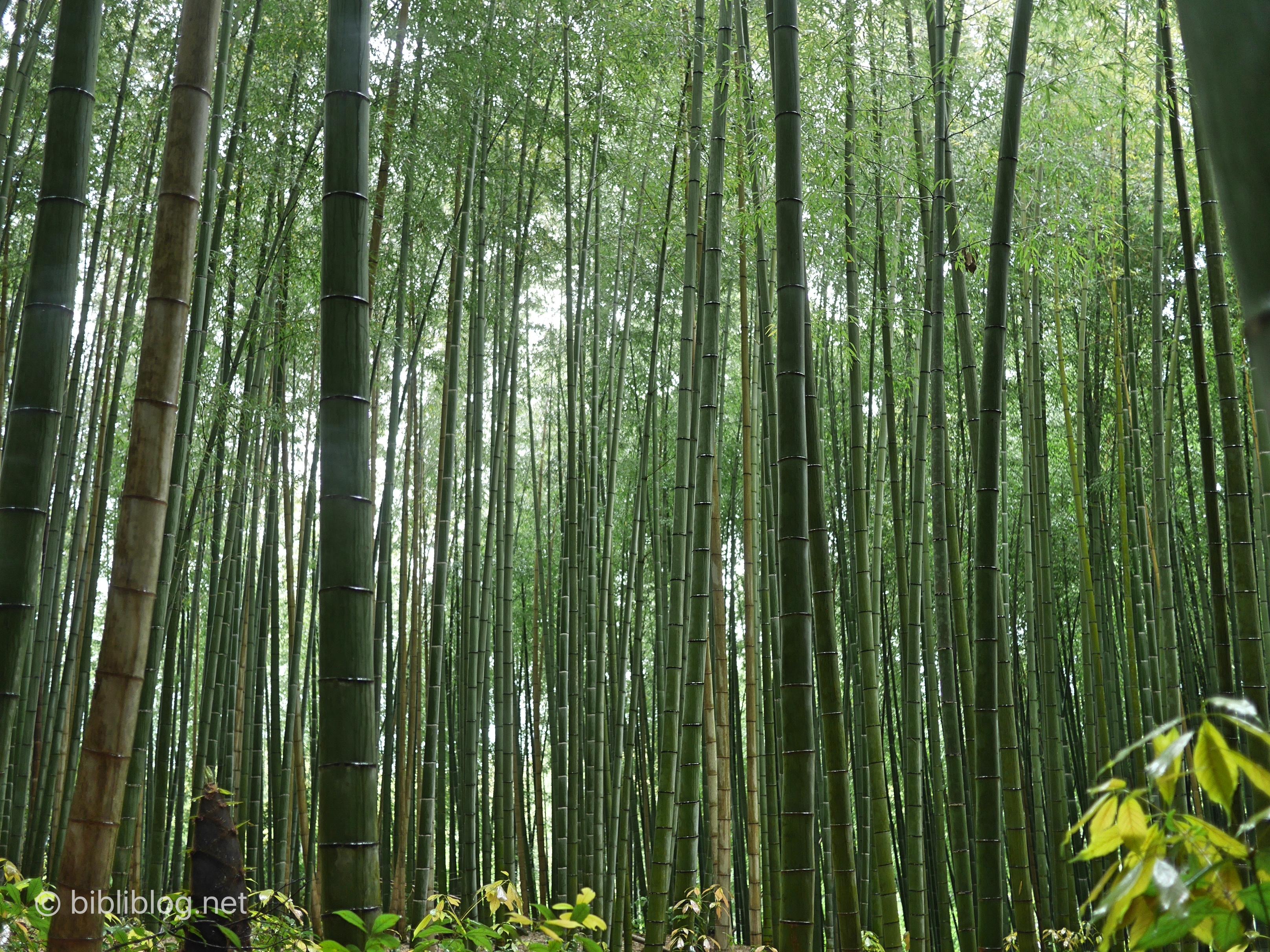 foret-bambous-kyoto-dense