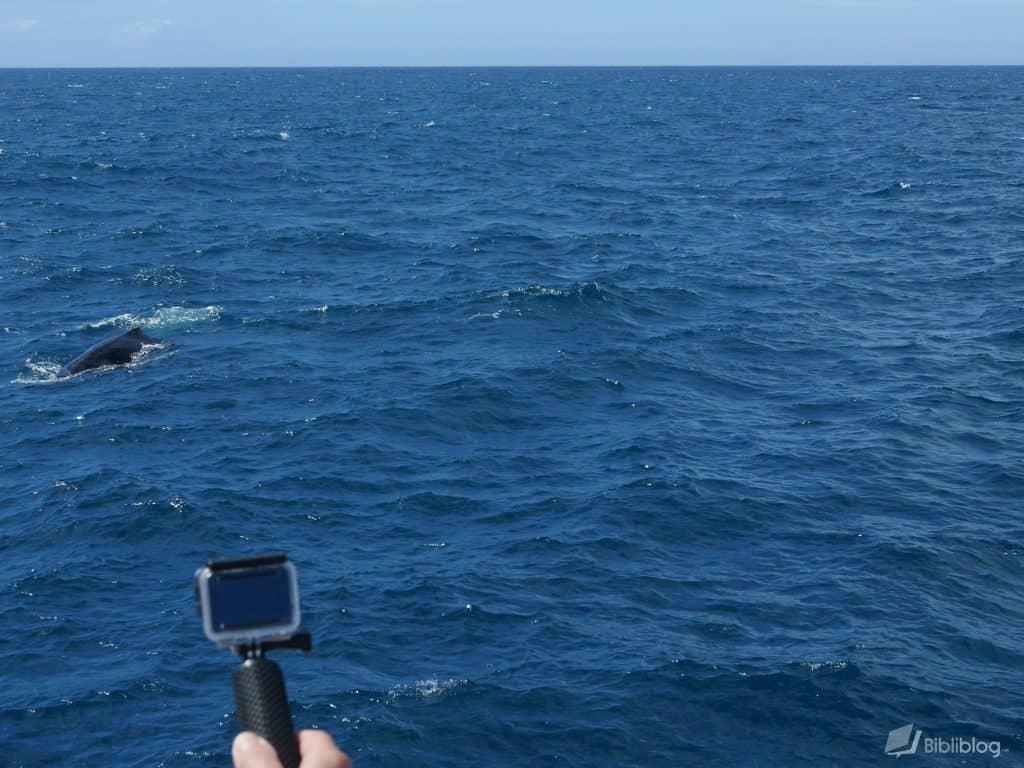 hawaii-baleine