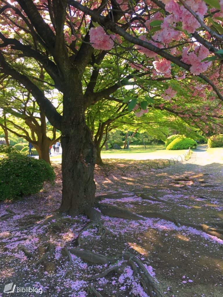 Shinjuku-cerisier
